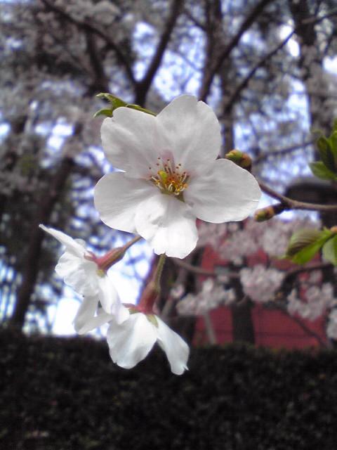 Sakura0407