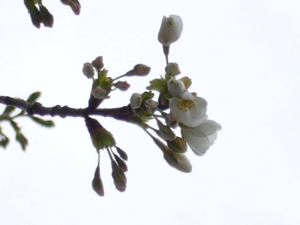 マイ桜のつぼみではないですが、咲きました。
