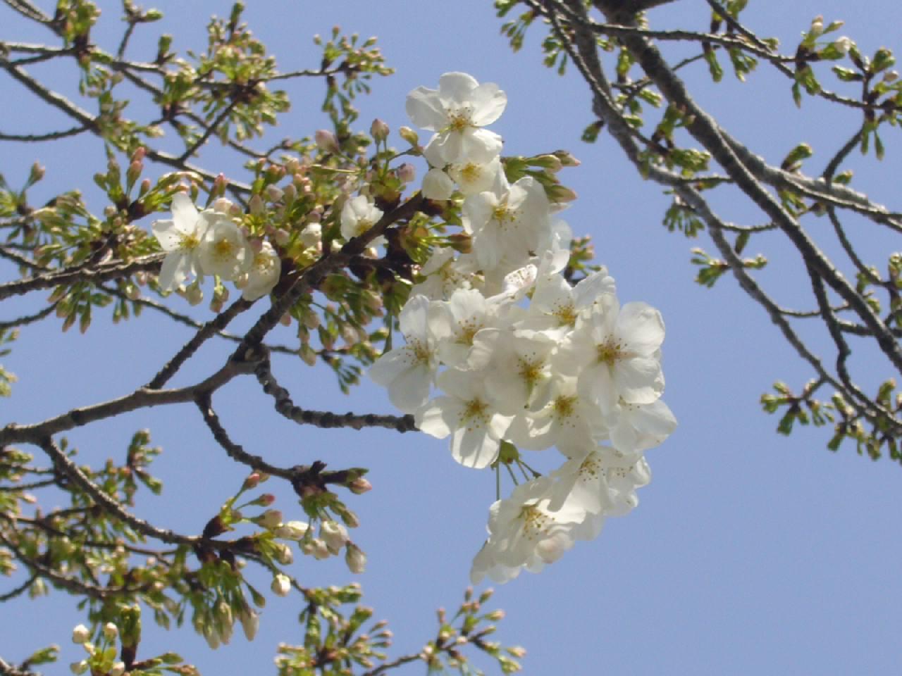 マイ桜。順調に開花がすすんでます。