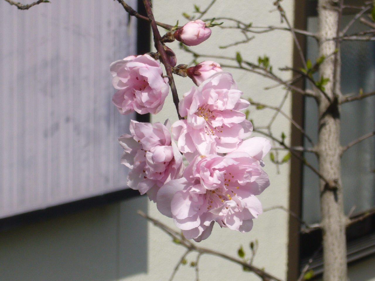 家の庭の梅も順調