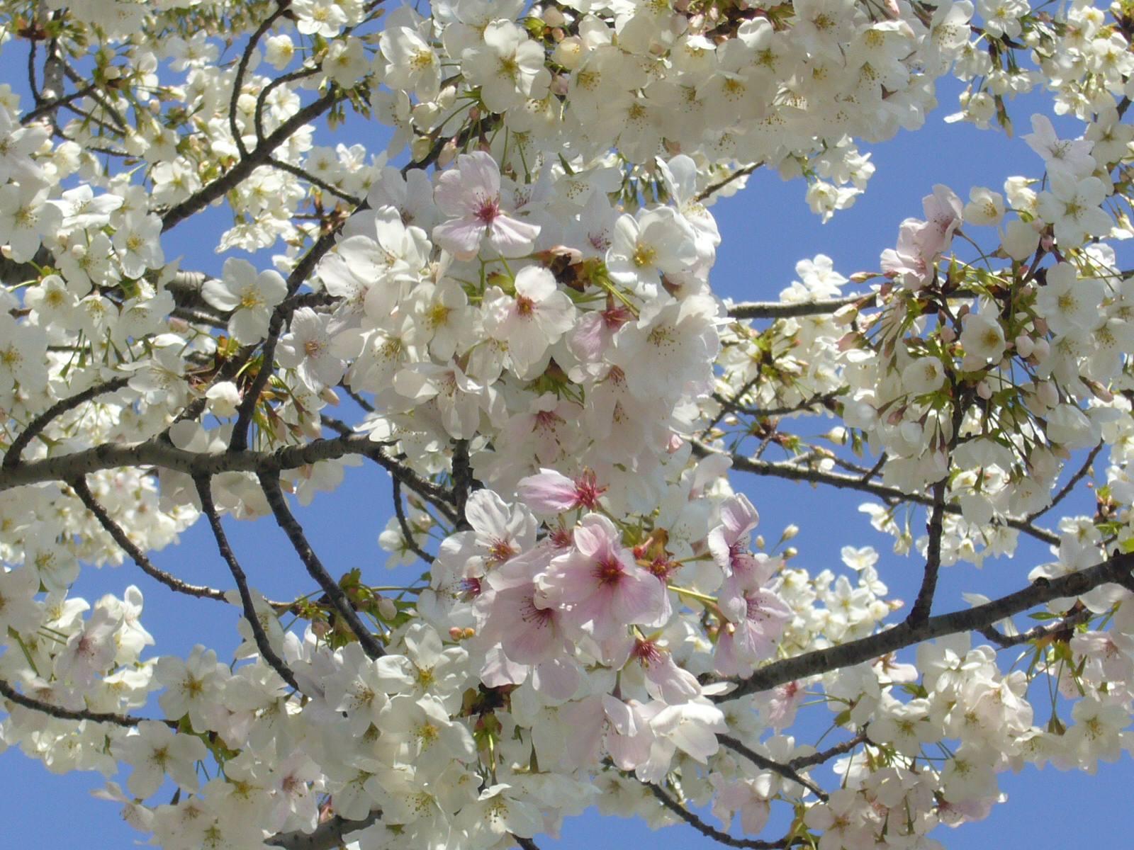 マイ桜。満開になりました。二色の花びらが!!